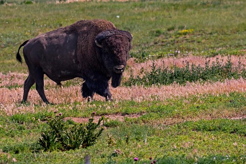 Bison Bull 2