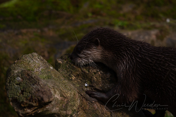inquisitive otter