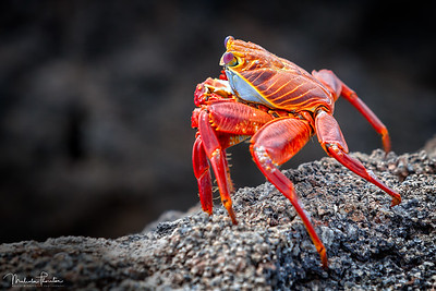 Sally Lightfoot Crab - Side Profile