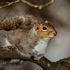 """Eastern Gray Squirrel"""