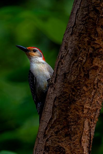 Red-bellied Woodpecker 4