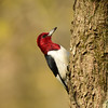 """Red-Headed Woodpecker"""