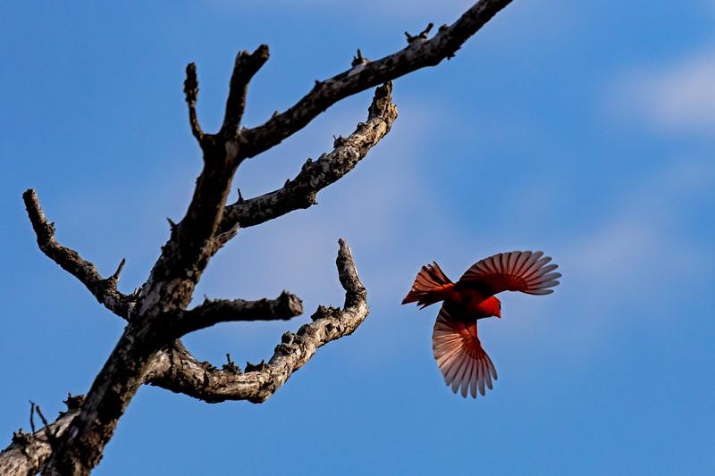 Cardinal Flight