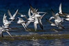 Terns in Flight 3