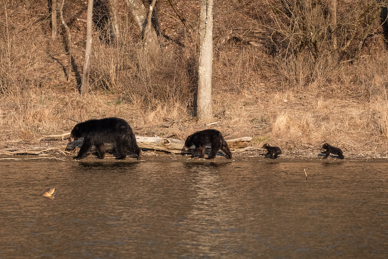 A sow black bear and her cubs along the lake at Montour Preserve near Washingtonville, Pennsylvania just as a fish jumps out of the water.