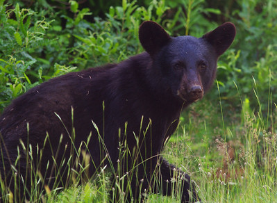 Black Bear Kouchibouguac National Park New Brunswick, Canada
