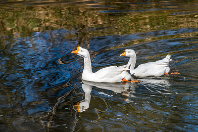 Two Swans in the Creek