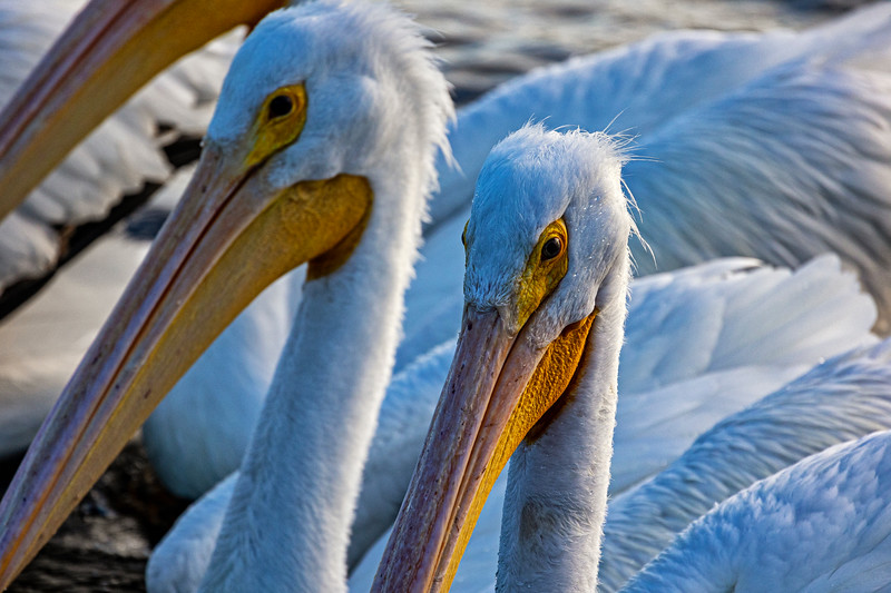 White Pelican Group Close-up