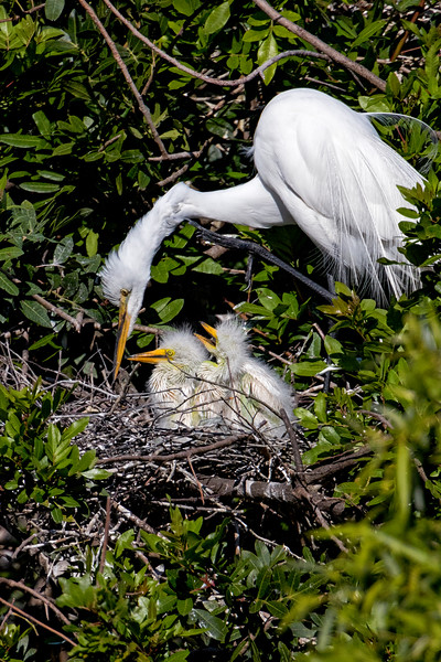 Great Egret Nest 2