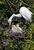 Great Egret Nest 2