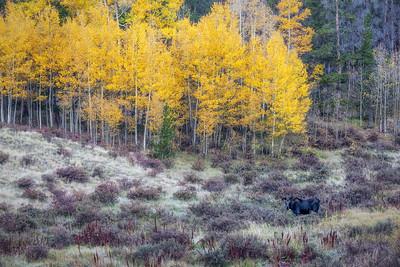 Colorado Fall Moose