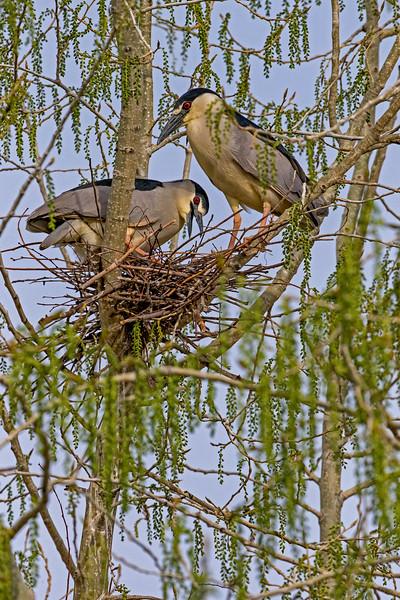 Black-crowned Night-Heron Pair 3