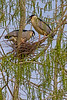 Black-crowned Night-Heron Pair 3