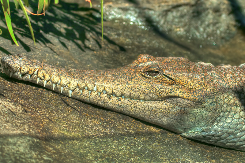 Crocodile, Sydney Zoo, Australia