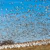 Feeding Geese Takeoff