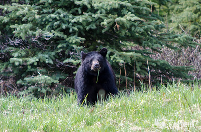 A young black bear in Banff National Park, Canada