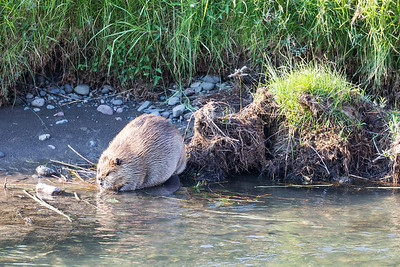 Chubby Beaver