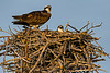 Osprey Pair Nest