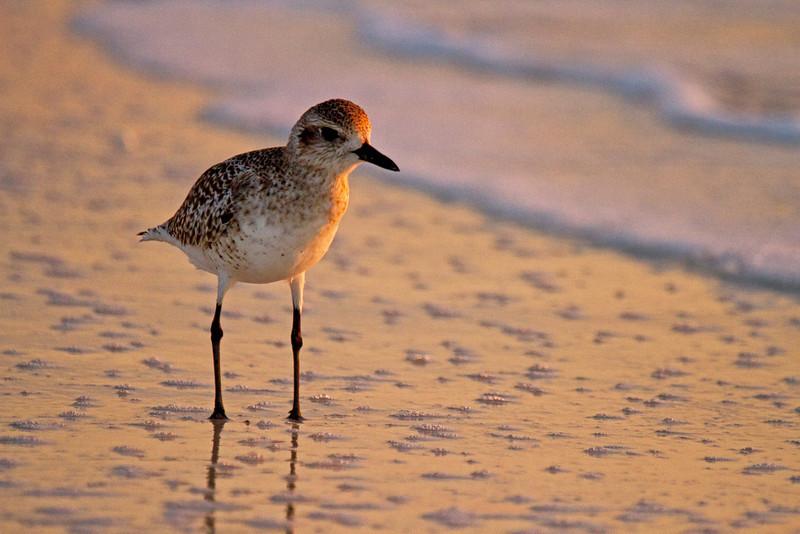 Shore Bird 3