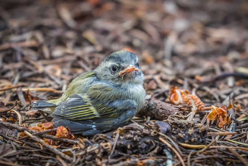 Golden-crowned Kinglet Fledgling