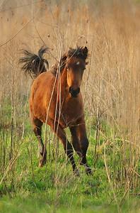 wild horse Paynes Prairie Ocala, FL