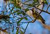 Ladder-Backed Woodpecker & Berries