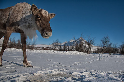 Barren Ground caribou near the Dempster Highway in Yukon, Canada