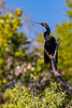 Anhinga Perch 3