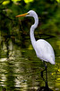 Great Egret Out Fishing 1