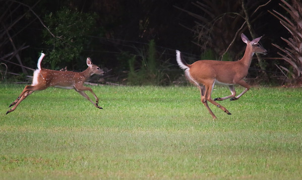 whilte-tailed deer doe & fawn Hendry County, FL