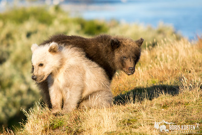 An unusual sight, a dark and almost white colored grizzly bear cub at Katmai National Park, Alaska