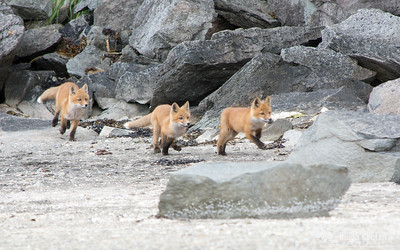 Three young foxes near Geographic Harbor, Alaska
