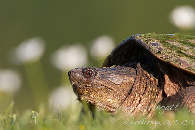 Glamour Shot  Portrait of a Snapping Turtle in a garden.   I was calling it a day at the Luther Marsh. The light was just about gone, when I ran into her.  She was up on the berm having pulled herself out of the lake not long before. Just sitting there waiting for me to pass. Could not resist this shot, with the dandelions in the background!