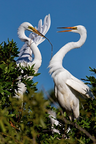 Great Egret Courtship 2