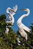 Great Egret Courtship 2