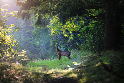 Deer0147
