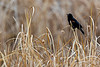 Red-winged Blackbird Reeds