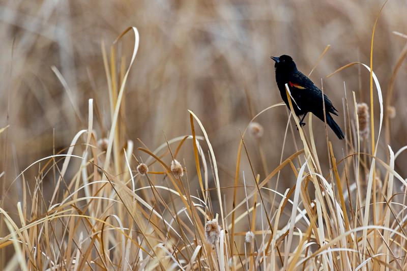Red-winged Blackbird Reeds