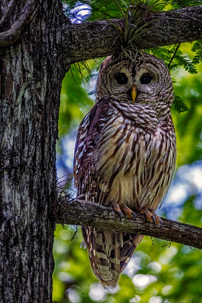Barred Owl Regal