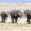 Stampede of Water Buffaloes