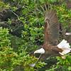 American Bald Eagle, Sitka, Alaska