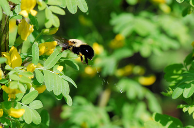 A rare picture of a bee `ejecting` liquids