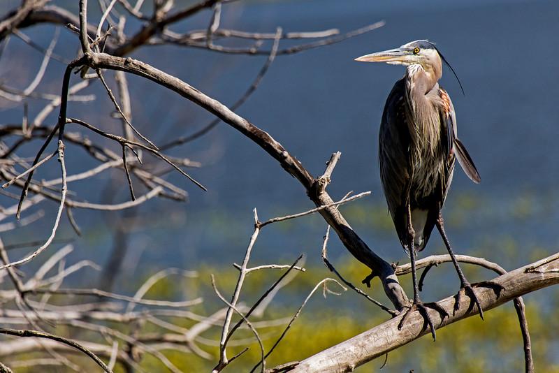 Blue Heron Profile