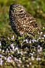 Burrowing Owl 7