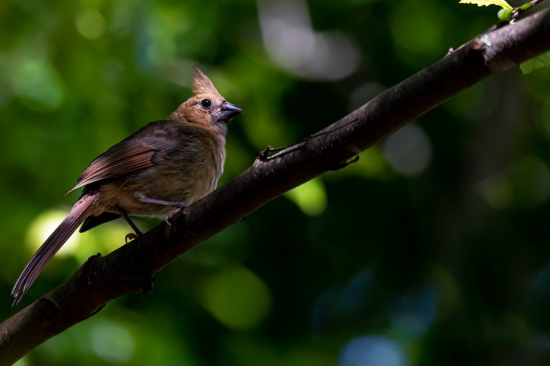 Female Cardinal Juvenile