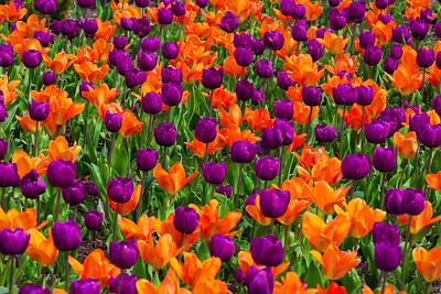 Forest Park Spring Color - Tulip Orange Purple