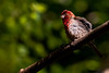Red Headed Finch 1