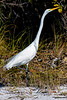 Great Egret Beach
