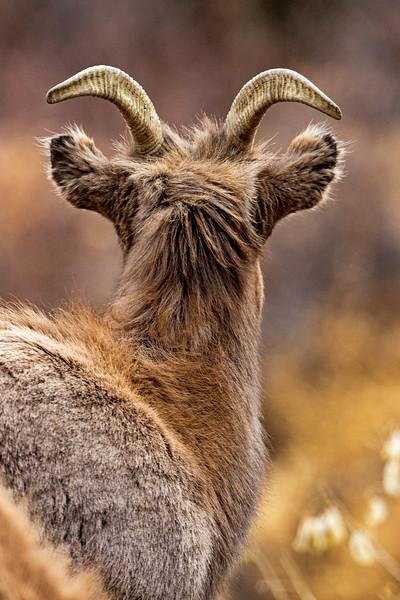 Bighorn Ewe On The Lookout