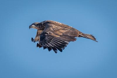 Eagle - Young un'-5225